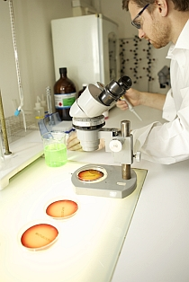 Reviewing agar plates under microscope